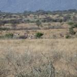 Buschsavanne mit Wild