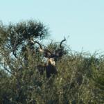 Kapitaler Kudu