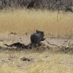 Warzenschwein frisst Pavian