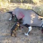 Bertas Oryxpremiere