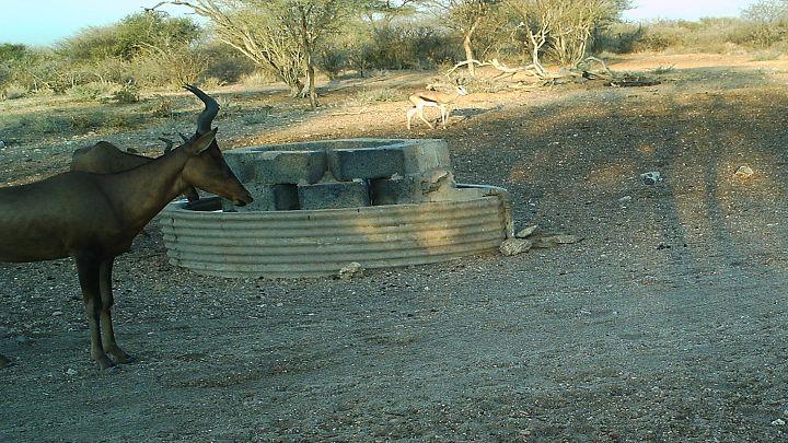 Hartebeest