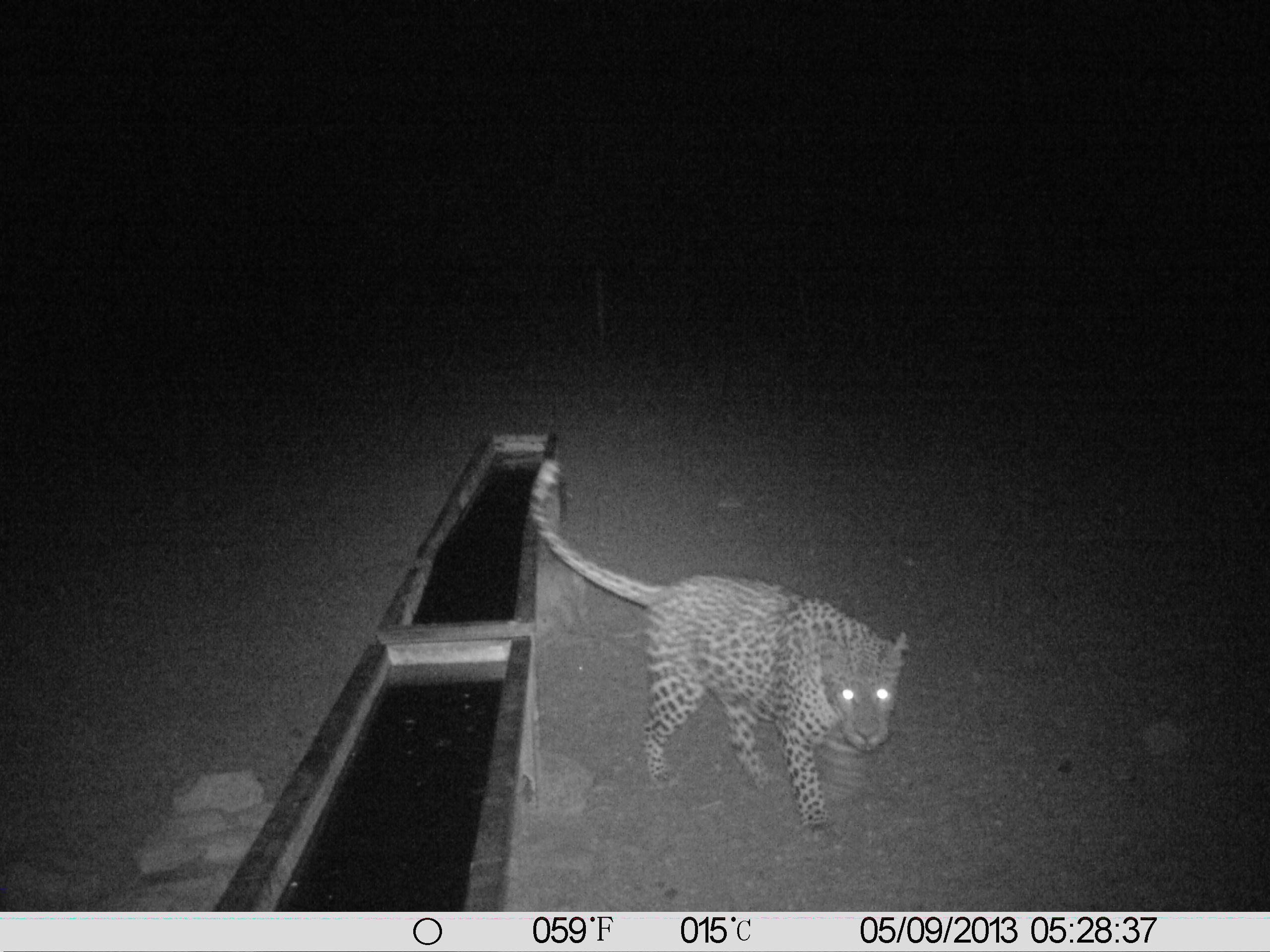 Starkes Leopardenmännchen