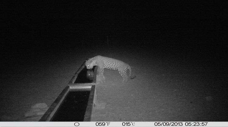 Leopard Gemsbockposten