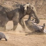 Elefant kontra Hippo