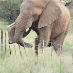 Elefant elegant
