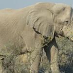 Elefant Etosha
