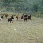 Pferde an Ostende