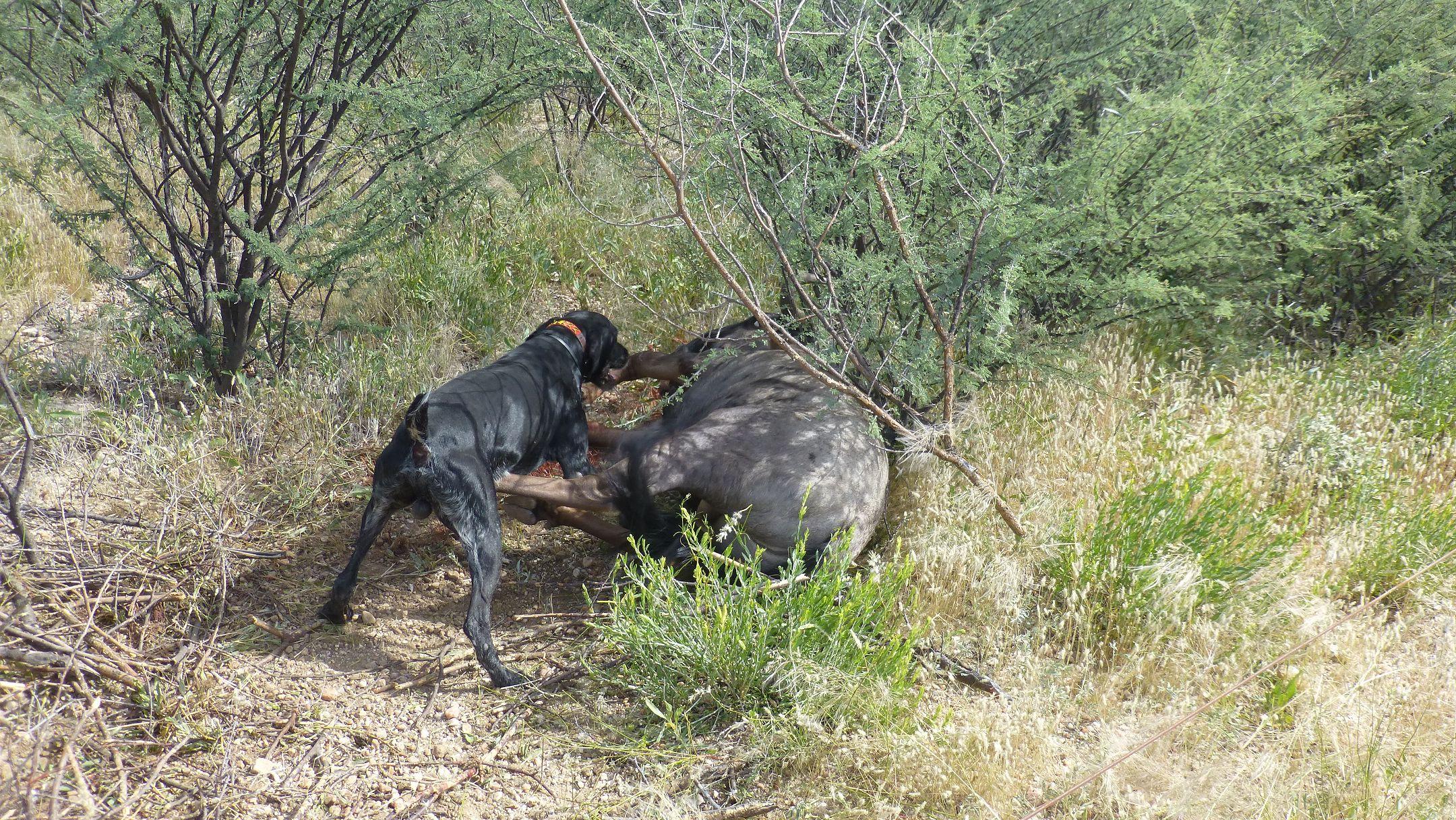 Streifengnu oder Blue Wildebeest