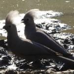 Graulärmvögel