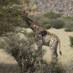 Giraffe ganz nah