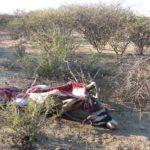 Trächtige Oryxkuh