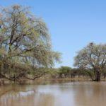Rettung für die Anabäume