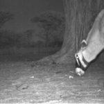 Oryx und Anabaumschoten